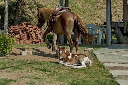 kerkini: Horse and young foal by Kerkini lake, Greece