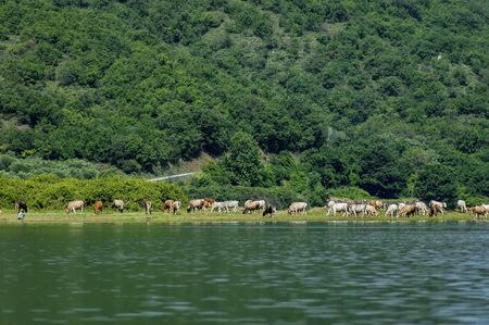kerkini: Kerkini lake ecoarea in nord Greece, Cow herd.