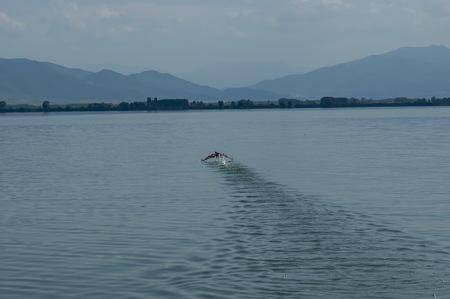 kerkini: Pelican start fly from water, Kerkini lake, nord Greece Stock Photo