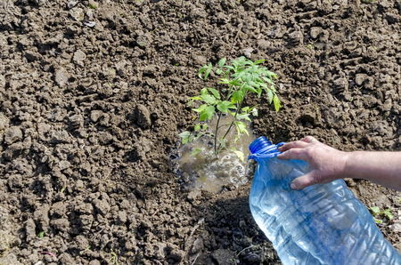 dibble: Organic farming of tomato in green house. Hands holding seedlings put and irrigate in the hole, Bulgaria Stock Photo