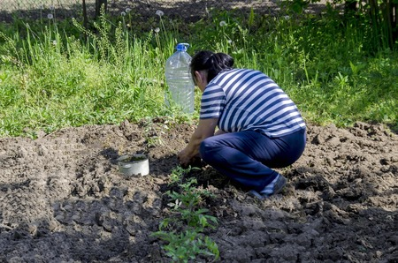 dibble: Organic farming of tomato in green house. Hands holding seedlings put  in the hole, Bulgaria Stock Photo