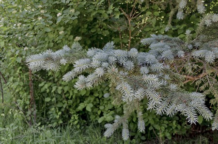 picea: View on the branch of blue fir tree or blue spruce  Picea pungens in the garden