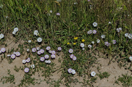 patula: Delicate  wildflower white and rose bindweed Convolvulus on meadow, Plana mountain, Bulgaria