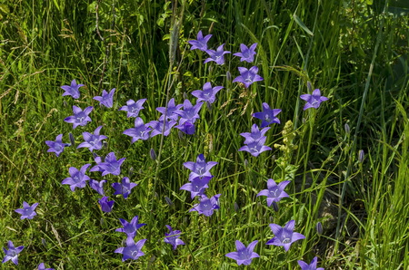 patula: Delicate purple wildflower harebell Campanula patula on meadow, Plana mountain, Bulgaria Stock Photo