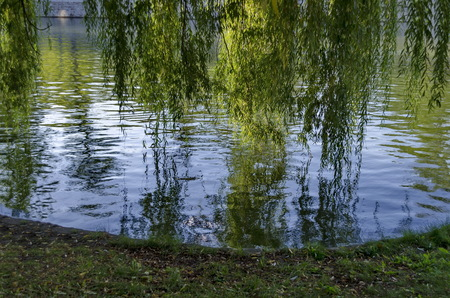 weeping willow: Lake with branch of weeping  willow and reflection, Sofia, Bulgaria