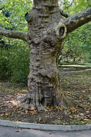 sicomoro: Verde sicomoro Acer pseudoplatanus nel parco con bosco fresco e il percorso, Sofia, Bulgaria
