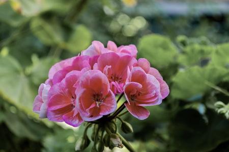 detai: Close-up of pink flowers  Pelargonium, Sofia, Bulgaria