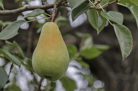 pear tree: Pear fruit hanging from the branches of a pear tree, Zavet, Bulgaria