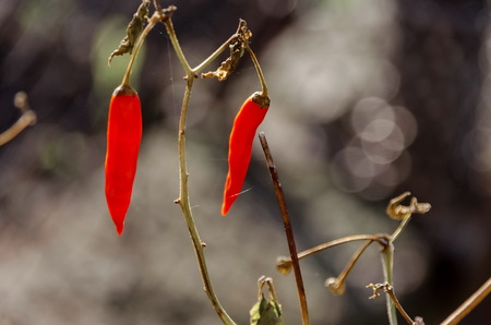 enticing: Beautiful enticing dry ripe rd chilli pepper in the stem, Zavet, Bulgaria Stock Photo