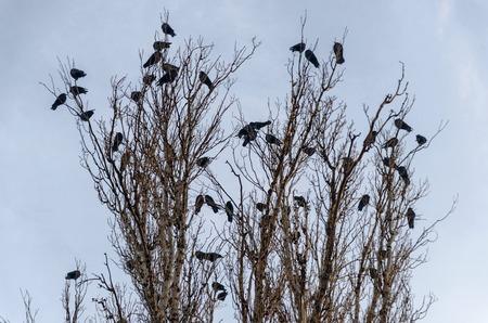alight: Many doves on birch tree at dusk, Sofia, Bulgaria