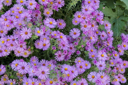 daisy pink: Daisy pink flowers in garden, Razgrad, Bulgaria