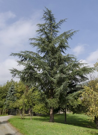 conifer: Unknown conifer tree in Pancharevo park, Bulgaria Stock Photo