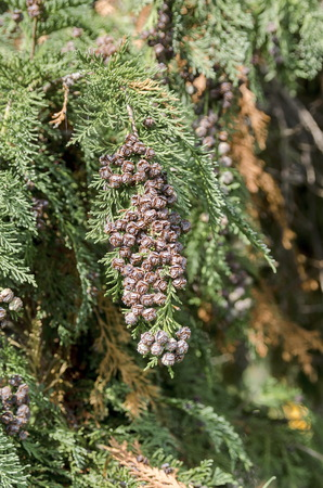 conifer: Interesting strobile of conifer tree, Pancharevo, Bulgaria Stock Photo