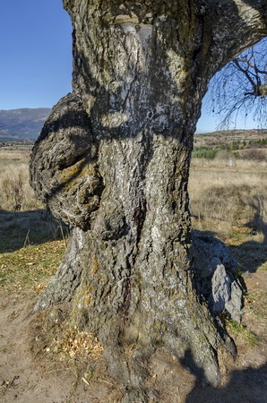 venerable: Venerable birch tree with interesting trung in the Plana mountain, Bulgaria
