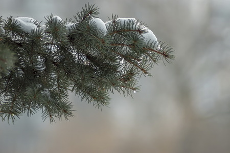 Conifer tree in winter with snow and sunshine, Sofia, Bulgaria