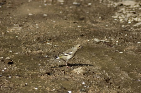 seek: Wood Lark standing in puddle and seek food, Murgash mountain, Bulgaria