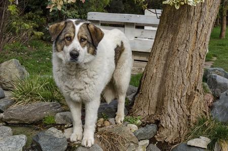 kindly: Shepherd dog kindly welcome visitor around dam Pancharevo, Bulgaria