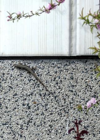 creep: Lizard creep on the fence in flower garden, Sofia, Bulgaria