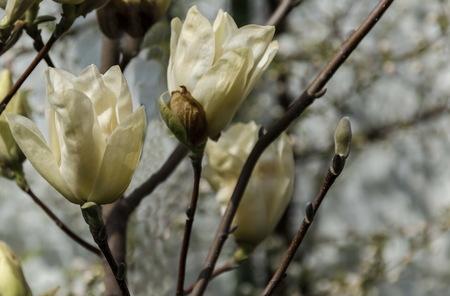 yellow blossom: Magnolia tree with yellow blossom at springtime in garden, Sofia, Bulgaria