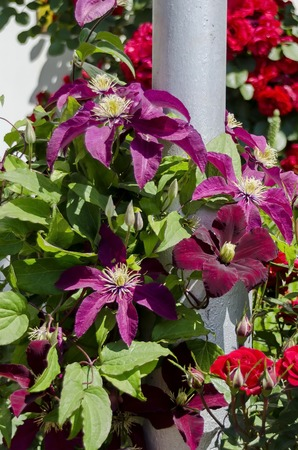 Purple clematis in bloom at natural outdoor garden, Sofia, Bulgaria