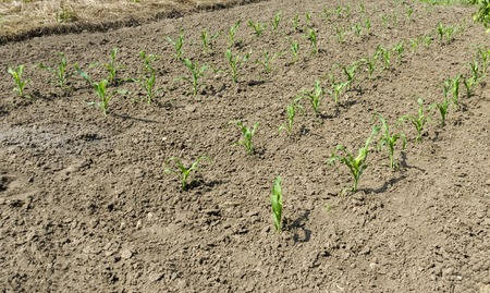 zea mays: Spring maize or Zea mays growing in the vegetable garden, Zavet, Bulgaria