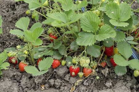 Organic farming of strawberry and technology for irrigation with drop water  in the vegetable garden, Zavet town, Bulgaria