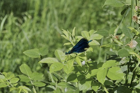 odonata: Blue odonata or dragonfly on green leaf, Sofia, Bulgaria