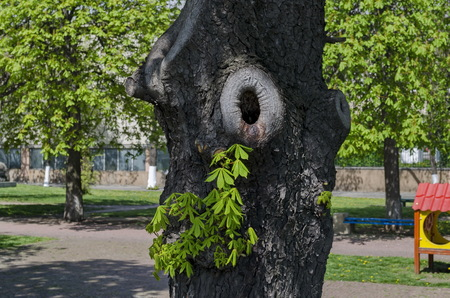 live again: Background of new sprout twig over horse-chestnut tree bark, Sofia, Bulgaria Stock Photo