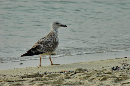 Seagull or Larys on the seaside,  Varna, Bulgaria Stock Photo