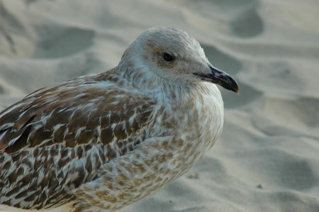 specific: Seagull or Larys on the seaside,  Varna, Bulgaria Stock Photo