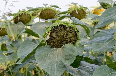 helianthus: Head of  sunflower or Helianthus annuus  with seeds growing in sunflower field, Zavet, Bulgaria