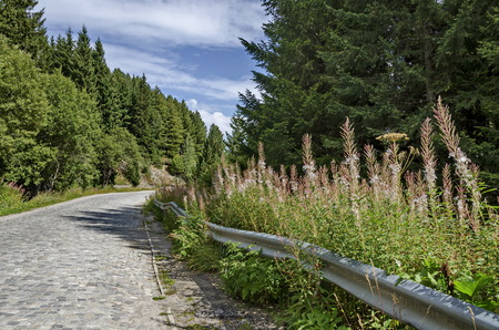 Green forest  and road  with high wild grass and mountain purple flowers toward the top of  Vitosha mountain, in the region of  Cherni vrah or  Black Peak, Bulgaria
