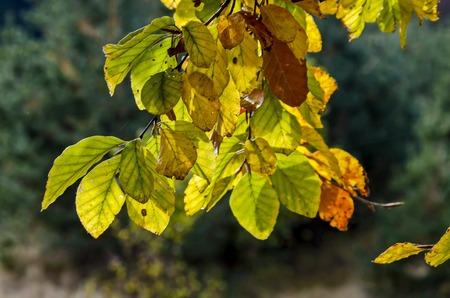 Twig with sunlit golden autumnal foliage in Vitosha mountain, Bulgaria