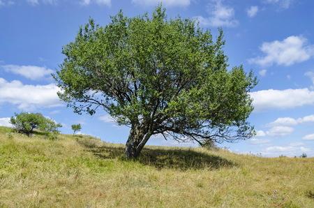 Old wild plum single tree in the glade, Vitosha mountain, Bulgaria