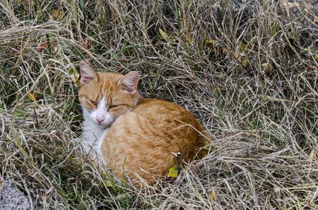 Yellow cat with green eyes drowse on autumn glade, Lakatnik,  Bulgaria  ????? ????? ?????