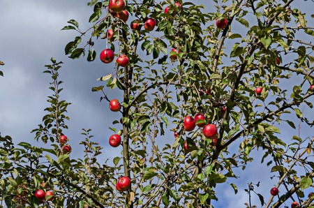 Apple tree and red fruits in garden at autumn, Sofia, Bulgaria