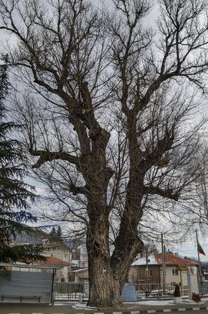 wooden metre: Venerable poplar or populus  tree in winter center village Pasarel, Bulgaria  Poplar is over 150 ??????, tall over 25 metre  with round 7 metre.