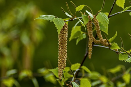 Twig with seed and leaves of a silver birch tree or Betula Alba in springtime, Sofia, Bulgaria