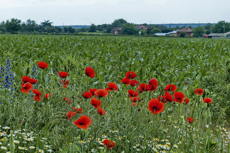 Bright red poppy or Papaver, camomile and  blue weed wildflower in the wheat  field near by Ostrovo village, Bulgaria Фото со стока