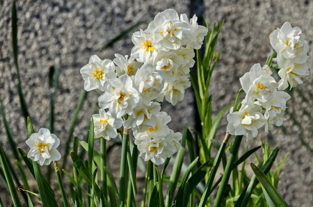 Bright white daffodils or narcissus in bloom,  Sofia, Bulgaria