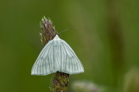 The insect pest American white butterfly or Hyphantria cunea on the high grass, Plana mountain, Bulgaria Stock Photo