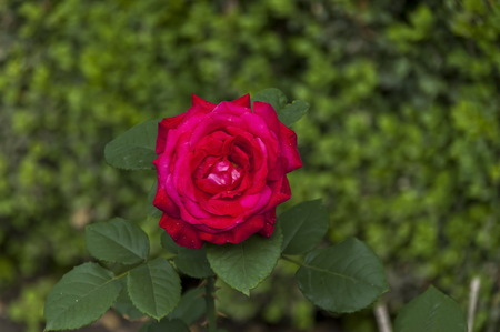Twig of beauty fragrant velvety red rose, Vidin, Bulgaria Stock Photo
