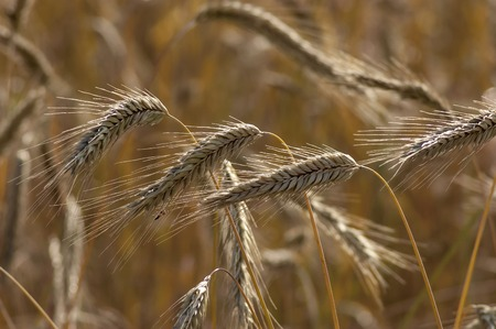 Ripe golden wheat on a summer field in Plana mountain, Bulgaria Stock Photo