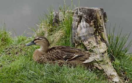 Hen mallard duck or Anas platyrhynchos with brown feathers in nest, Sofia, Bulgaria