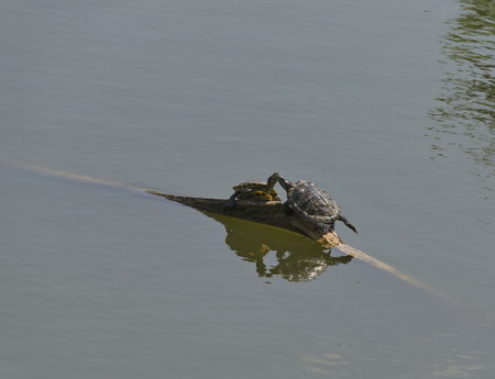 lovemaking: Love-making of two tortoises or terrapin on the fallen tree in pond, Sofia, Bulgaria