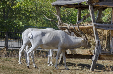 Two white antelopes feed with hay in rack at park, Sofia, Bulgaria