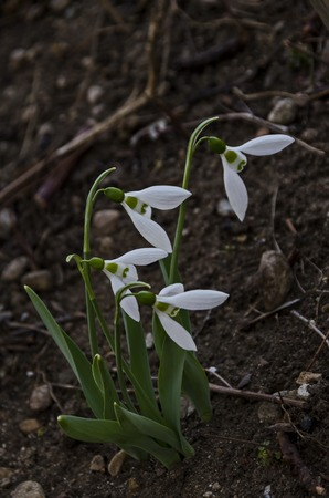 Bunch of snowdrops or Galanthus nivalis flowers in the garden, heralds of springtime, Sofia, Bulgaria