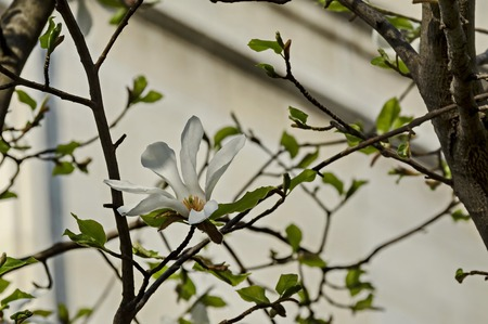 Twig with white bloom and leaves of magnolia tree at springtime in garden, Sofia, Bulgaria