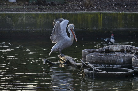 White Pelican or Pelecanus onocrotalus alight on trunk in lake and splash water around, Sofia, Bulgaria