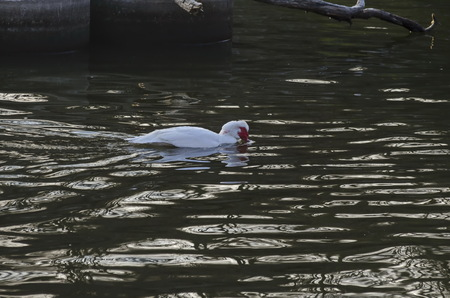 White Muscovy duck or Cairina moschata bathing in pond, Sofia, Bulgaria Stock Photo
